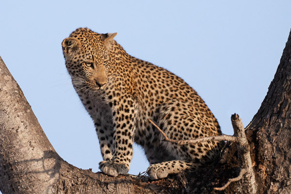 Leopards of Sabi Sands