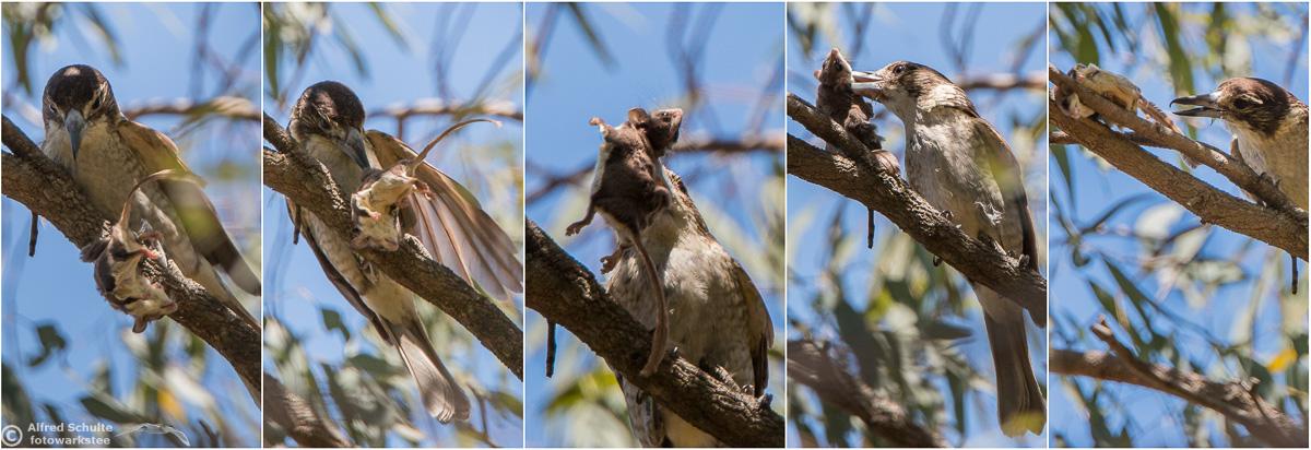 grey-butcherbird-0.jpg