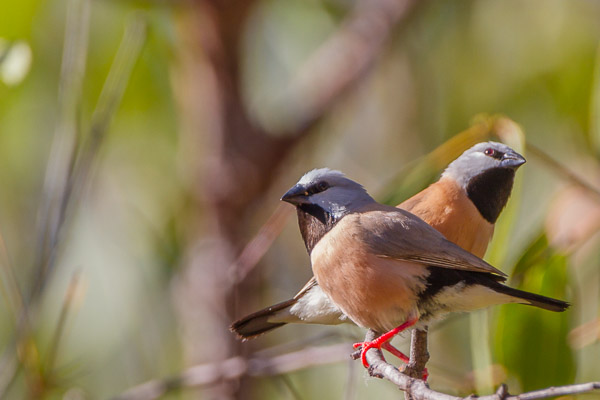 Waxbill and Finches - Estrildidae