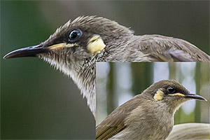 Difficult Honeyeaters
